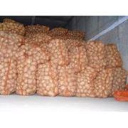 Репродукционный картофель из Чернигова фото