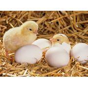 Суточный цыпленок бройлера РОСС-308 оптом и в розницу фото