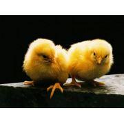 Цыплята бройлеров оптом и в розницу фото
