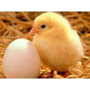 Цыплята бройлер суточные фото