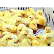 Цыплята бройлера кобб-500 фото
