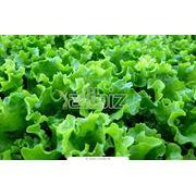 Салат листовой органический фото