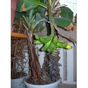 Бананы дерево фото