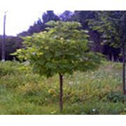 Растения лиственные садовые фото