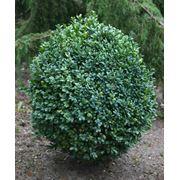 Саженцы:Буксус (самшит вечнозеленый) фото