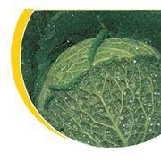 Семена капусты савойской Nickerson фото