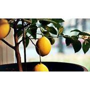 """Растение комнатного лимона """"Киевский крупноплодный"""" фото"""