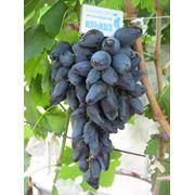 Викинг очень ранний столовый сорт винограда фото