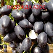 Виноград Надежда АЗОС (Бердянск) саженцы винограда саженцы винограда купить продажа саженцев винограда саженцы винограда почтой саженцы столового винограда. фото