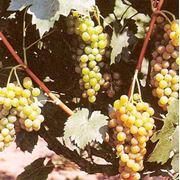 Саженцы винограда Мускат Одесский сорт ранний винный фото