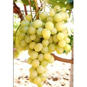 Саженцы винограда Аркадия Крым фото