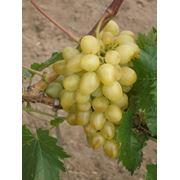 Саженцы винограда Лора Крым фото