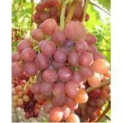 Саженцы винограда Ливия фото