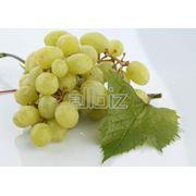 Саженцы винограда сверхранних сортов фото