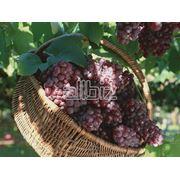 Саженцы винограда средних сортов фото