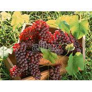Саженцы винограда универсальных сортов фото