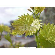 Черенки винограда выращивание продажа фото