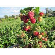 Саженцы плодово-ягодные (малина) фото
