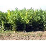 Саженцы персика опт фото