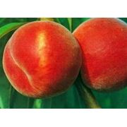 Саженцы персика фото