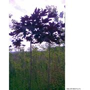 Клён канадский красный осенью клен шаровидный фото
