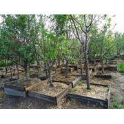 Аженцы лиственных деревьев от 5 м. до 6м. фото
