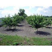Саженцы плодовых деревьев опт фото