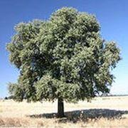 Дуб Каменный (саженцы) фото