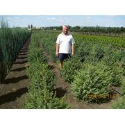 Ель сербская — Picea omorica (Pancic) Purkyne в горшке 20л h61-80 фото
