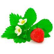 Продам саженцы земляники садовой (клубники) сорт «Королева Елизавета» фото