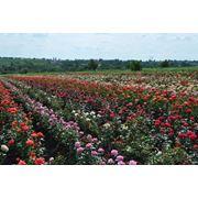 Саженцы роз оптом по Украине фото