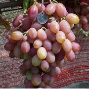 Саженцы виноградные - столовых и технических сортов (привитые). фото