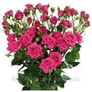 Купить саженцы розы в чернигове учителю на 8 марта подарок