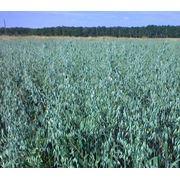 Семена овса Черниговский 28 суперэлита и элита фото