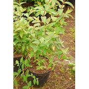Растения многолетние Рассада саженцы озеленение фото