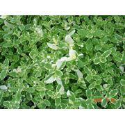 Пряные многолетние растения. фото