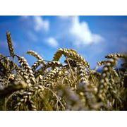 Пшеница от производителя Херсонская область. фото
