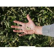 семена сои фото