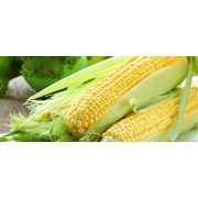 Семена для полеводства - кукуруза фото