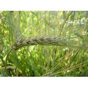 Озимые семена Канадской селекции Урожай 2012 года фото