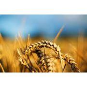 Пшеница Херсонская область. фото