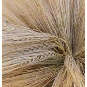 Семена ячменя озимого купить Украина фото