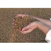 Семена ячменя озимого фото