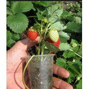 Кассетная рассада земляники (сорта нейтрального дня) саженцы ягодных кустарников фото