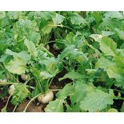 Семена свеклы сахарной купить семена сахарной свеклы у производителя фото