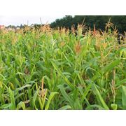 Семена для овощеводства - семена кукурузы фотография
