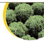 Семена салата Nickerson фото