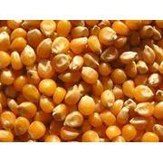 Семена кукурузы для выращивания зерна и на силос