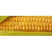Семена кукурузы. фото