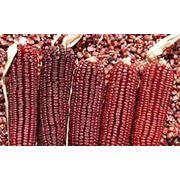 Гибрид кукурузы Солонянский 298 СВ (ФаО 290) Днепропетровской селекции